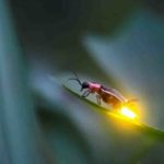 Why fireflies glow at night in hindi