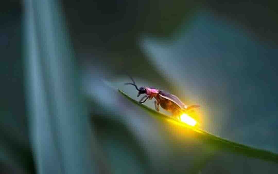 कैसे जलते-बुझते हैं जुगनू…| Why fireflies glow at night in hindi