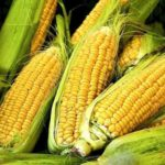 bihar's smart farmer earnings from maize
