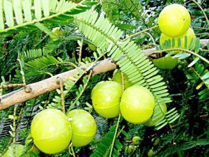 amla-fruits