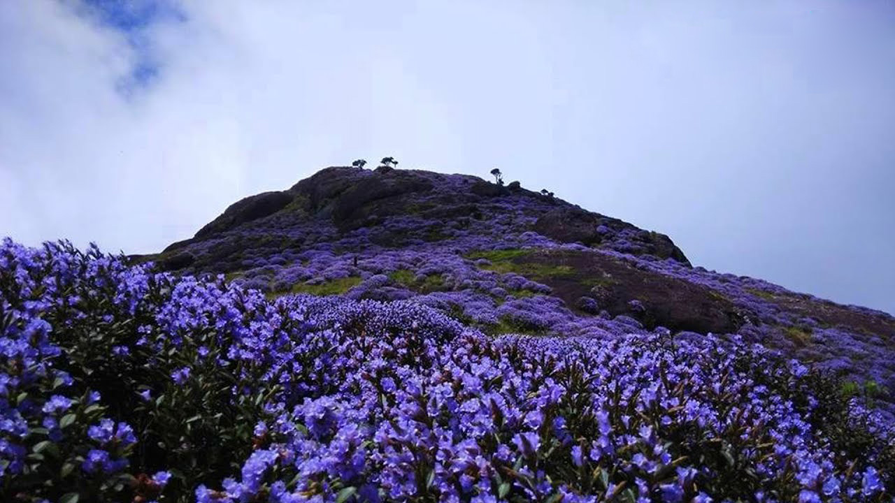 Neelakurinji Flower At Munnar Kerala