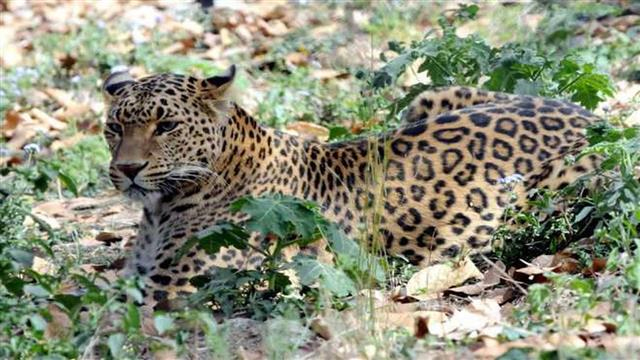 Endangered leopards seen in Beijing after two decades