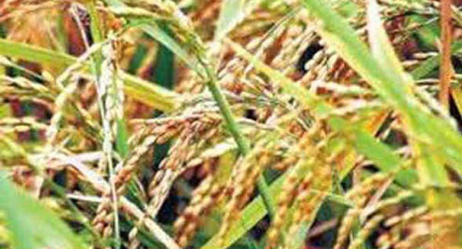 Purchase of eight lakh tonnes of kharif paddy