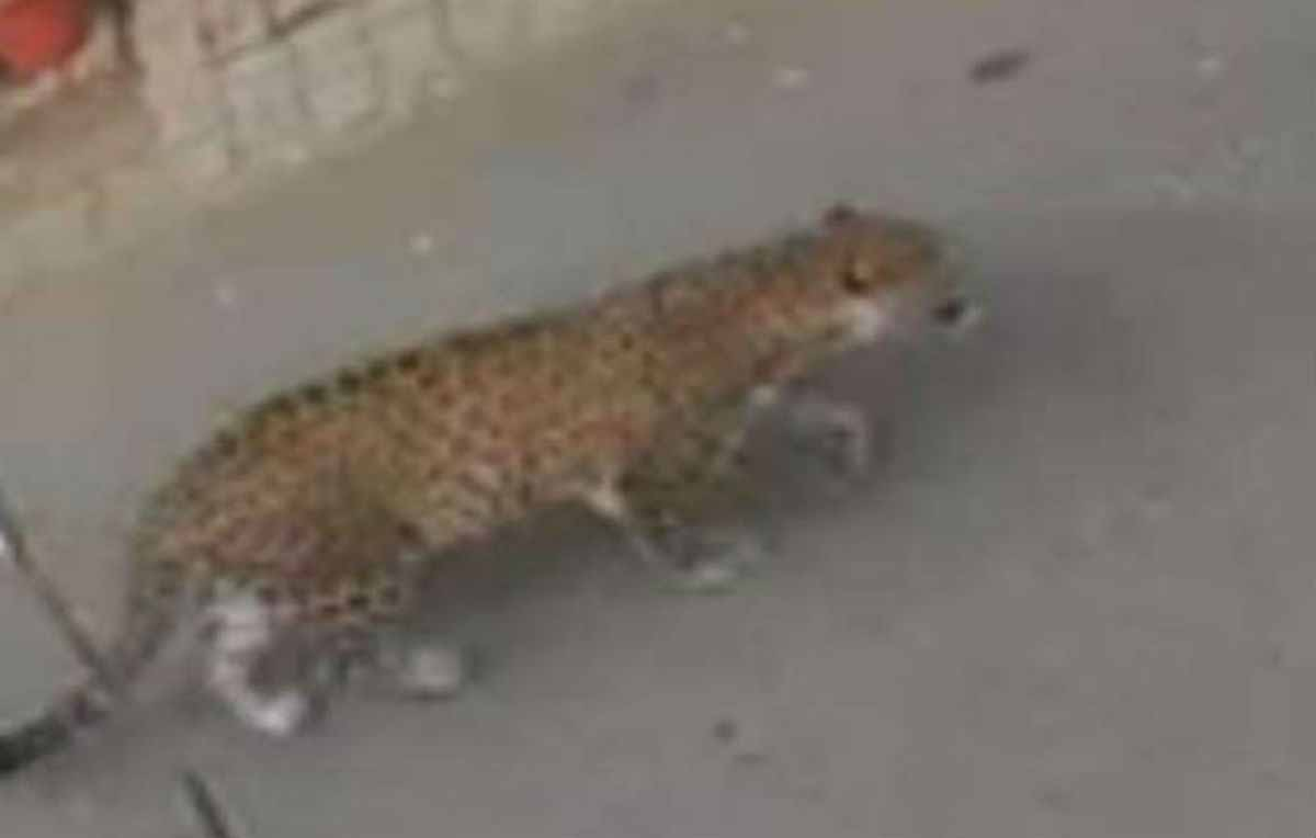 High alert in Ghaziabad: leopard roaming in the city, panic among people